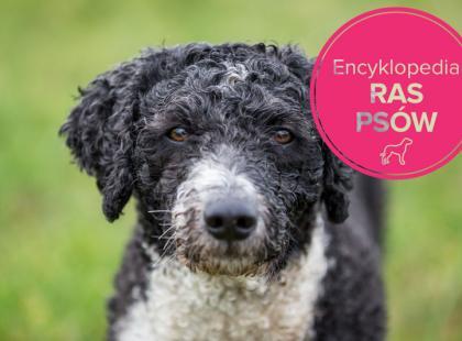 Hiszpański pies dowodny - charakterystyka rasy