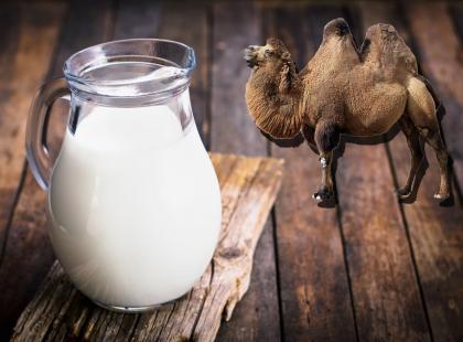 Idealne w przypadku alergii na mleko krowie, polecane w terapii autyzmu czy cukrzycy… Bierzemy pod lupę mleko wielbłądzie!