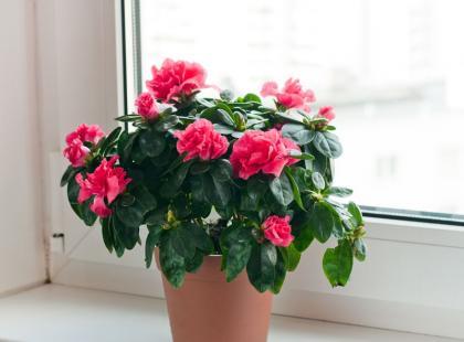 Idealny kwiat na parapet? Azalia