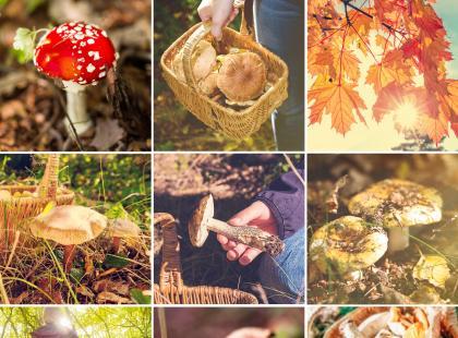 Jak bezpiecznie zbierać grzyby? Poradnik grzybiarza!
