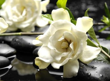 Jak dbać o gardenię?