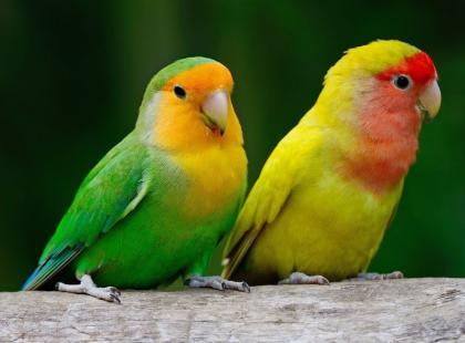 Jak dbać o papużki-nierozłączki?