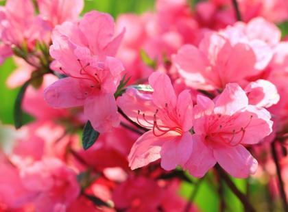 Jak dbać o rododendrony?