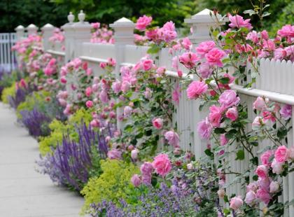 Jak dbać o róże, by kwitły do jesieni?