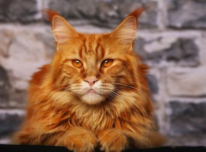 Jak dobrze poznasz kota rasy maine coon - zostaniesz jego fanką