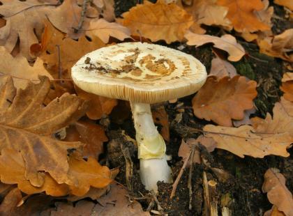 Jak dochodzi do zatrucia grzybami?