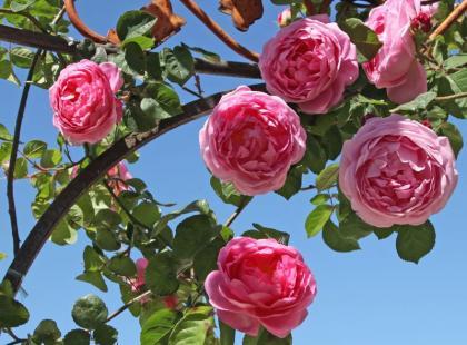 Jak hodować róże na balkonie?