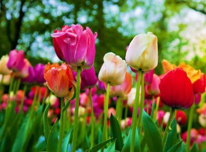 Jak hodować tulipany?