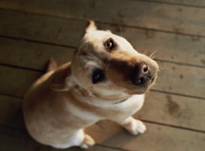 Jak oduczyć labradora łakomstwa