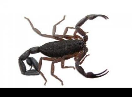 Jak przygotować właściwe terrarium dla skorpiona?