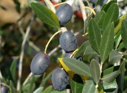 Jak wykonać oliwkowe hiszpańskie przystawki?