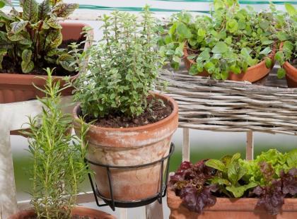 Jak wykorzystywać popularne zioła?