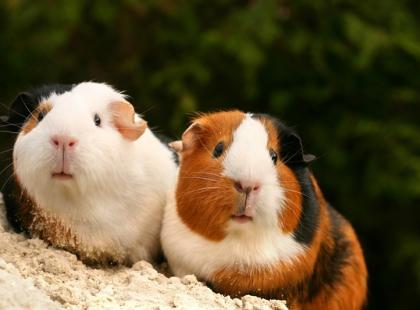 Jak zadbać o higienę świnki morskiej?