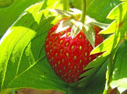 Jak założyć plantację truskawek?