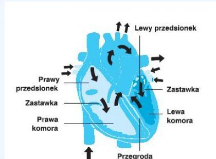 Jak zbudowane jest serce?