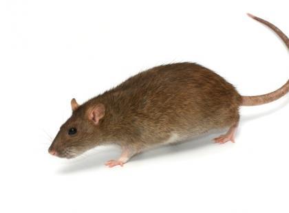 Jak żywić szczura?