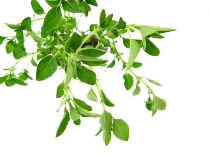Jakie zioła są najlepsze dla Bliźniąt?