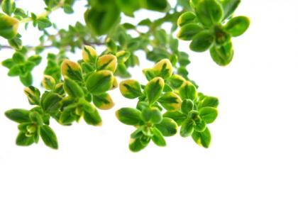 Jakie zioła są najlepsze dla Wagi?