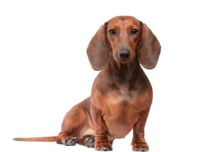 Jamnik - pies z charakterem