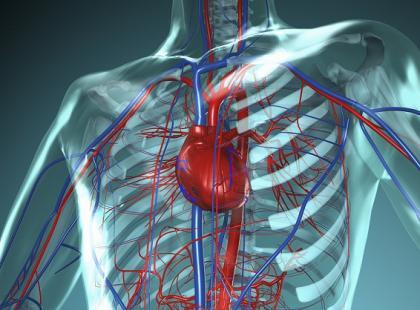 układ oddechowy, układ krwionośny, badanie, diagnostyka, człowiek, naczynia krwionośne, serce, fot. Fotolia