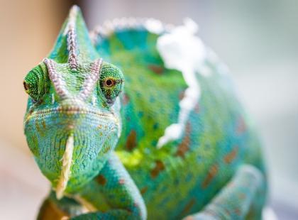 Kameleon jako pupil domowy. Co trzeba wiedzieć?