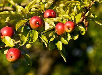 Kiedy bielić drzewka i krzewy owocowe?