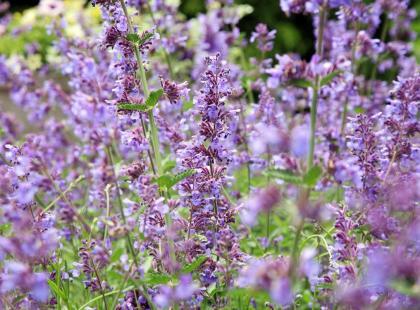 Koci antydepresant o pięknych kwiatach. Jak uprawiać kocimiętkę?