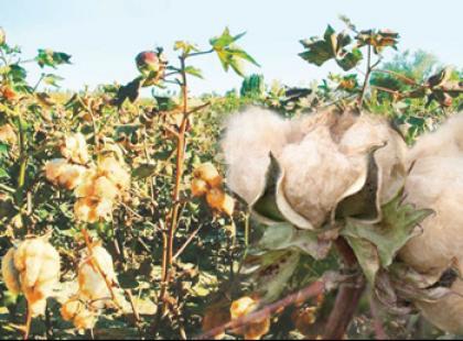 Kolorowa bawełna - natura czy GMO?