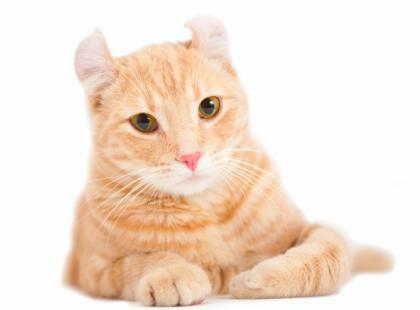Kot amerykański courl krótkowłosy - charakterystyka rasy