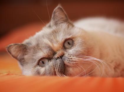 Kot egzotyczny - charakterystyka rasy
