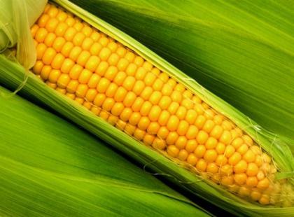 Kukurydza - żółte ziarnka pełne zdrowia