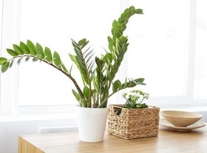 Kwiaty doniczkowe zielone -urocze liliputy i imponujące olbrzymy. Którymi ozdobisz swoje mieszkanie?