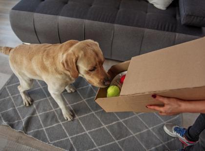 Labrador - niezwykły pies do niezwykłych zadań