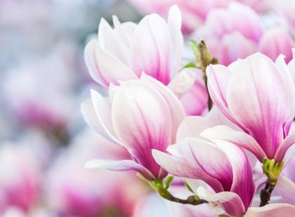 Magnolia - odmiany, sadzenie, pielęgnacja