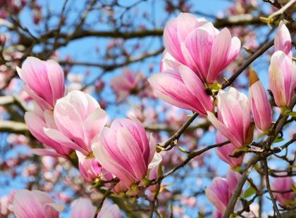 Magnolia - prawdziwa miss ogródka