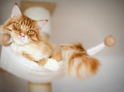 Maine coon - za co kochamy tę rasę kotów?