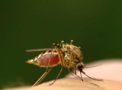 Malaria – zabójcza broń komarów