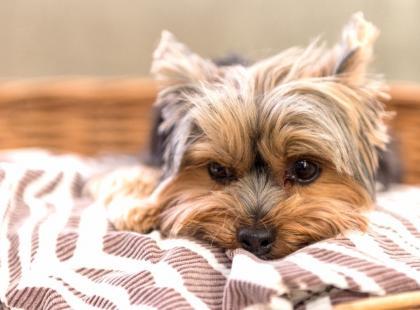 Małe psy, które nie gubią sierści – jaką rasę wybrać?