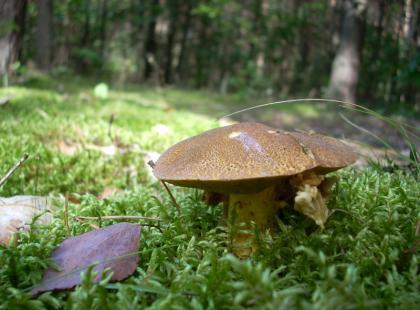 Maślak pstry (Suillus variegatus)