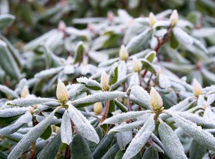 Masz w ogrodzie rododendron? Przygotuj go do zimy!