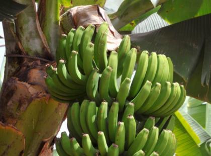 Matoke - tłuczone zielone banany