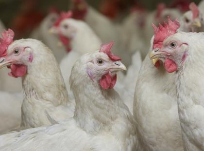 Mięso ze zwierząt hodowanych w Polsce jest naszpikowane antybiotykami? To mit! Sprawdzamy, jak jest naprawdę