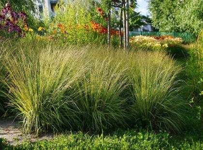 Modne trawy ozdobne w twoim ogrodzie i na balkonie