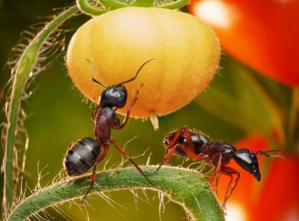Mrówki na działce są szkodnikami i irytują, więc trzeba je zwalczyć. Ale uwaga! Nie zawsze, bo czasem są też pożyteczne