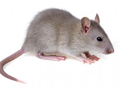 Mysz Ts65Dn – badania genetyczne związane z zespołem Downa