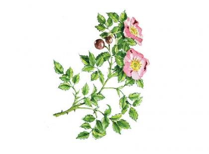Na co pomaga dzika róża