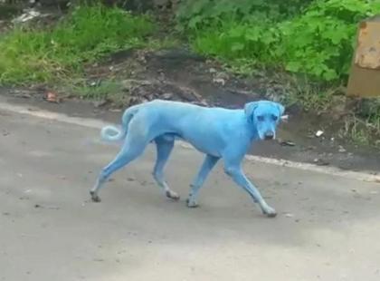 Na ulicach pojawiły się niebieskie psy. O co chodzi?