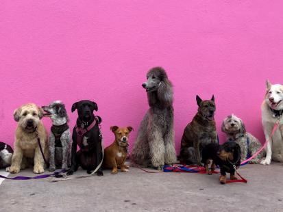 Najdroższe rasy psów