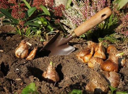 Najlepszy pomysł na kolorowy ogród od przedwiośnia – piękne cebulki, które sadzi się jesienią. Na pewno nie znasz wszystkich!
