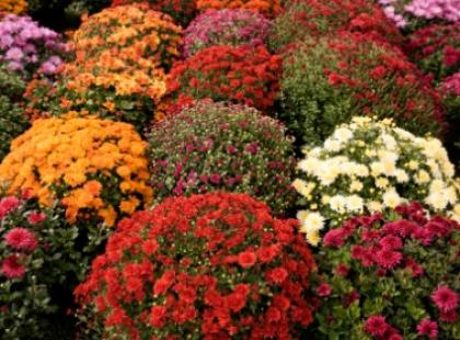 Najmodniejsza roślina tej jesieni - chryzantema